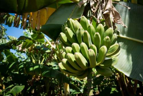 Green unripe bananas on a tree