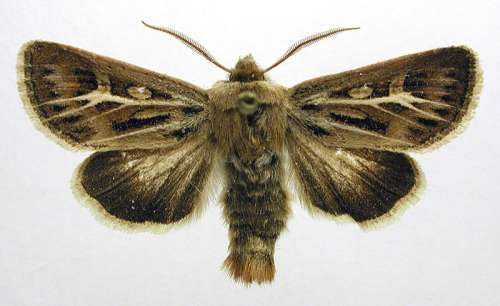 Antler Moth Adult - Cerapteryx graminis free photo