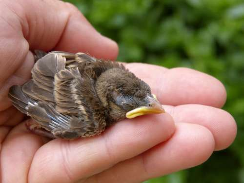 Baby Sparrow being held in hand free photo