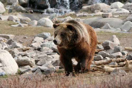 Brown Bear in Yellowstone National Park, Wyoming free photo