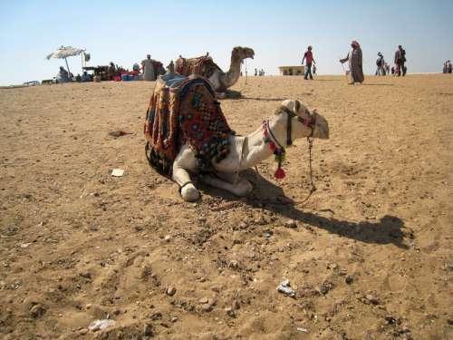 Camel in the Desert in Giza, Egypt free photo