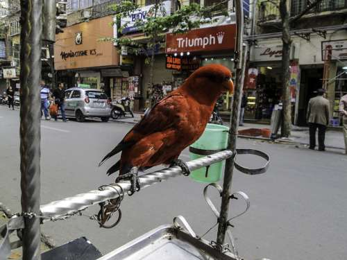 Chained Parrot on the Street in Hanoi, Vietnam free photo