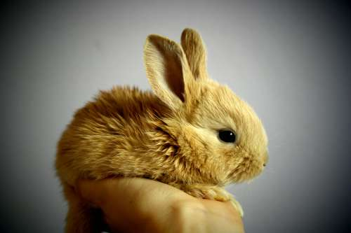 Cute Brown Bunny being held in hand free photo