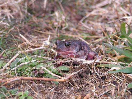 Eastern Spadefoot Toad  - Scaphiopus holbrookii free photo