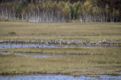 Flock of Cranes standing in the Marsh at Crex Meadows free photo