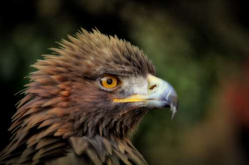 Golden Eagle headshot - Aquila chrysaetos free photo