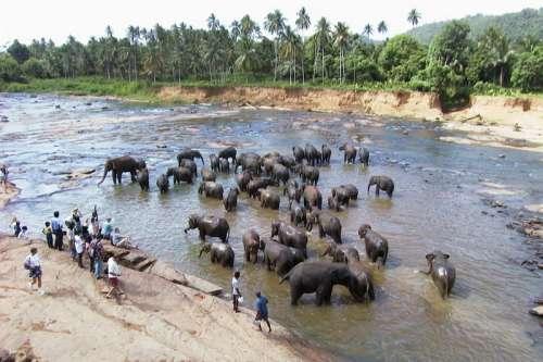 Herd of Elephants washing in the river in Sri Lanka free photo