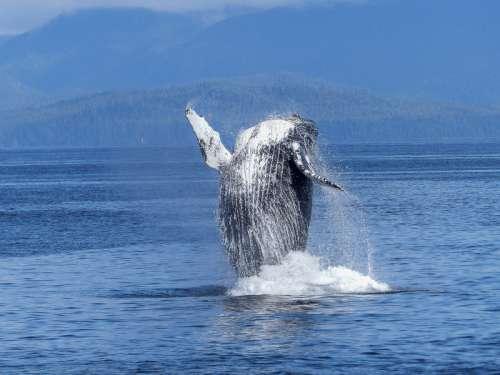 Humpback Whale Jumping free photo