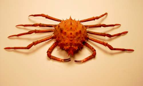 Inflated spiny crab -- Rochinia crassa free photo