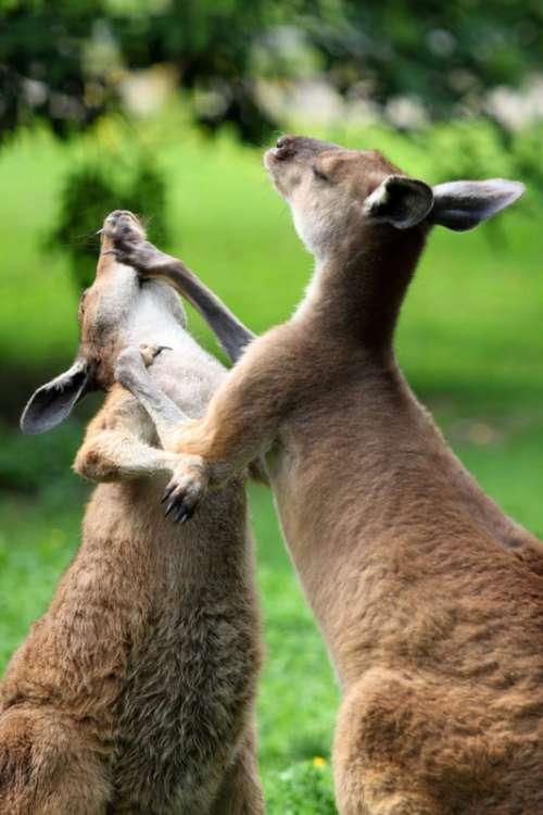 Kangaroos Fighting free photo