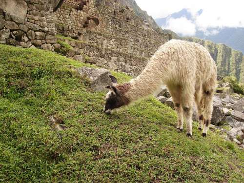 Llama Feeding on the Grass at Machu Picchu, Peru free photo