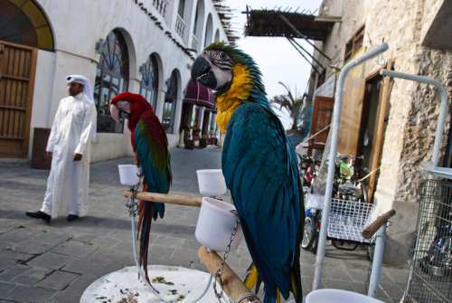 Parrots and birds on the streets in Doha, Qatar free photo