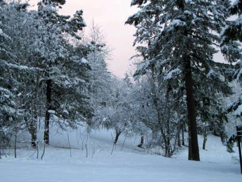 Pine Trees with snow in the winter in Eugene, Oregon free photo
