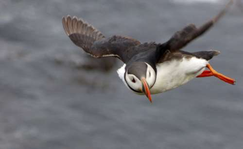 Puffin in Flight free photo