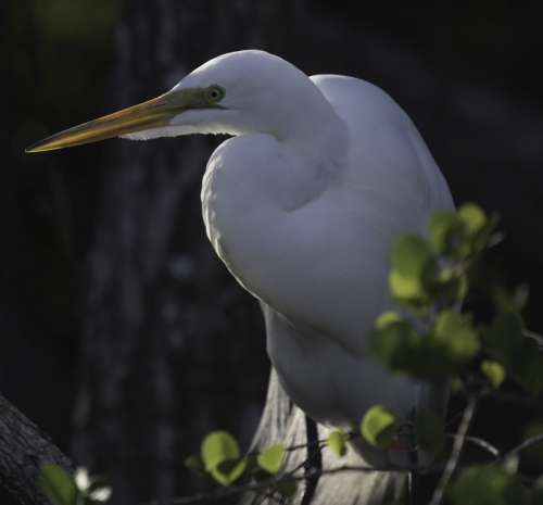 Snowy Egret standing in the swamp free photo