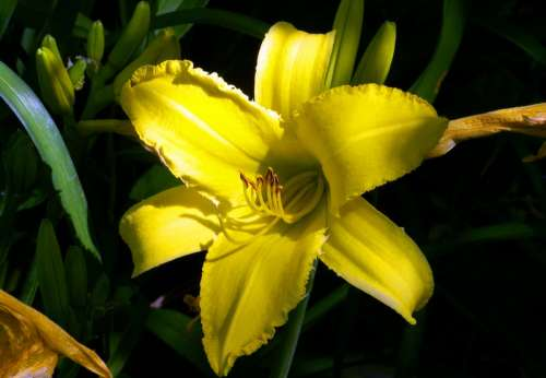 Yellow Lily Flower free photo
