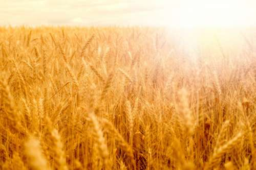 Wheat field in golden glow of evening sun