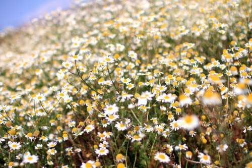 Beautiful meadow full of daisies on a beautiful sunny day