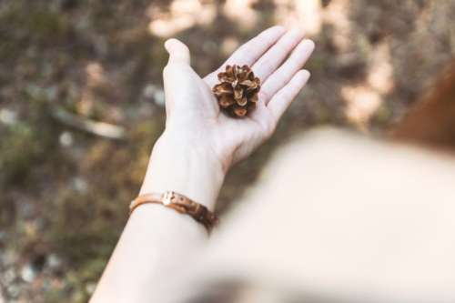 Pine cones on the hand in the pine forest
