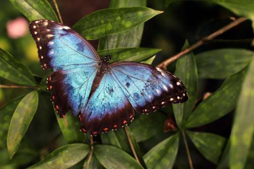 Beautiful blue butterfly on leaves in nature