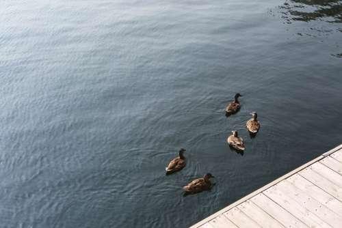 Ducks' Meeting