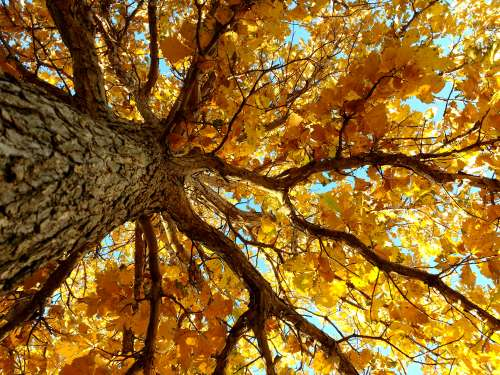 Autumn Tree From Below