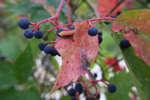 Berries on Virginia Creeper Vine
