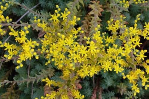 Blooming Sedum Plant
