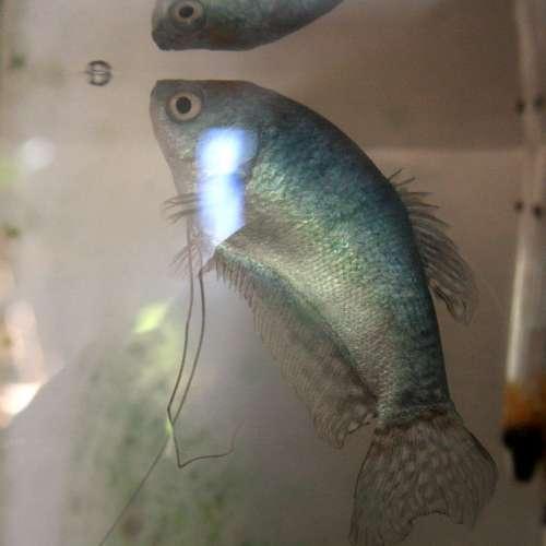 Blue Guorami Fish