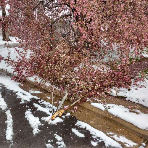 Crabapple Tree Damaged by Spring Snow