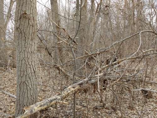 Fallen Tree Branches in Winter Woods