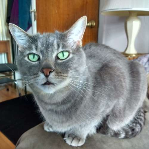 Gray Cat with Green Eyes