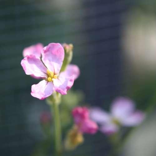 Pink Radish Blossom Close Up