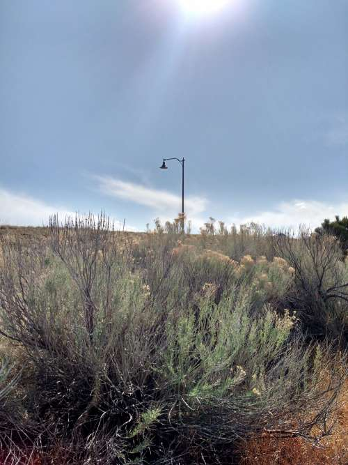 Rabbitbrush Plant with Lamp Post in Background