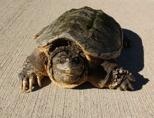 Common Snapping Turtle – Chelydra Serpentina