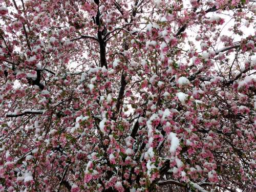 Spring Snow on Pink Crabapple Tree