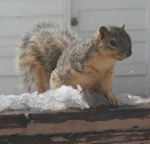 Squirrel with Melting Snow