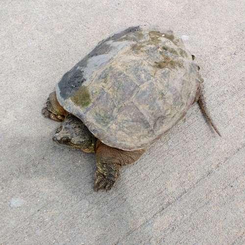 Tortoise on the Sidewalk