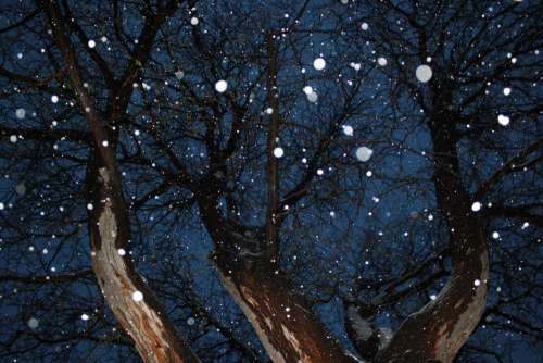 Tree from Below with Falling Snow