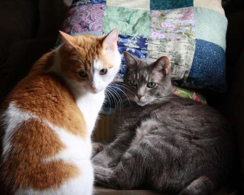 Two Tabby Cats