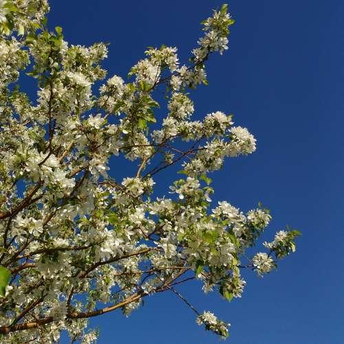 White Crabapple in Bloom