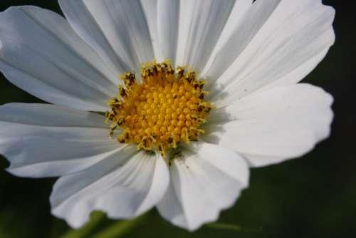 White Garden Cosmos Flower Close Up