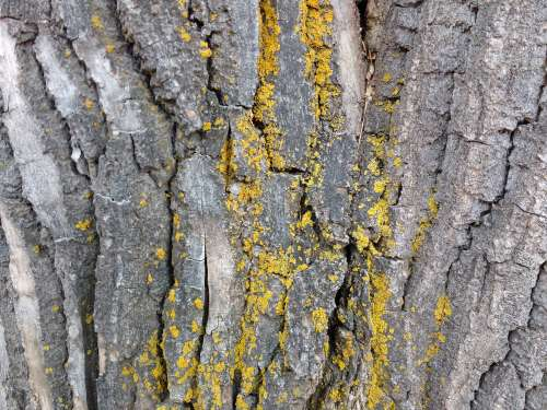 Yellow Lichen on Bark of Tree Trunk