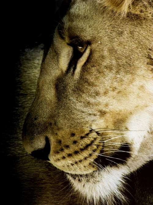 lioness side view free image