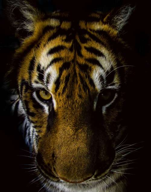 Front view of tiger with black background free image