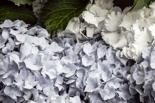 white flowers background free image