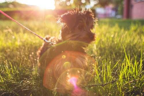 Little Yorkshire Terrier in Grass