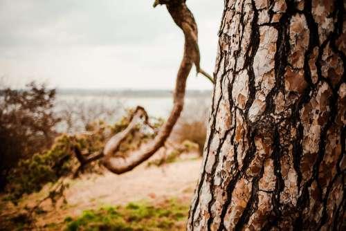 A Conifer Tree Trunk Close Up
