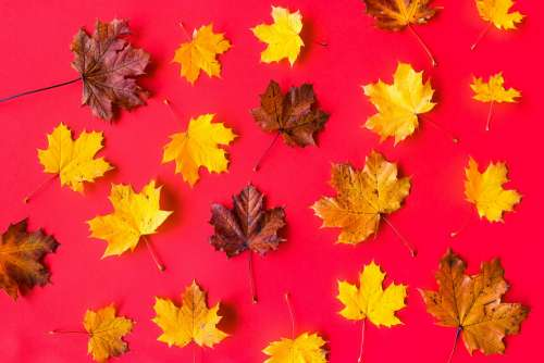 Autumn Leaves on Flat Red Background