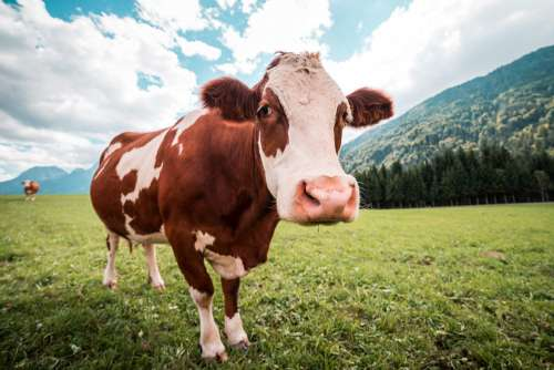 Brown and White Cow in Pasture